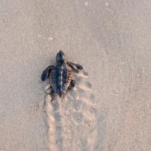 Image of infant sea turtle